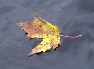 yellow-leaf-on-water