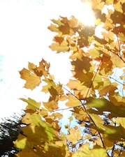 yellow-maple-leaf-sun